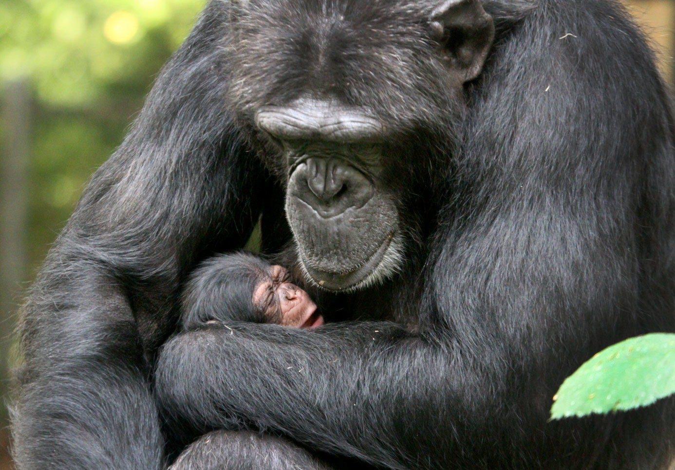 Schlafen wie eine Schimpanse